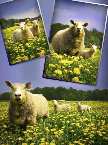 Livestock: sheep, lamb (raster selection)