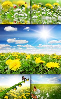 Flowers: Dandelions (selected images)