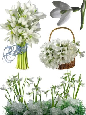 Photostock: spring flowers - snowdrops