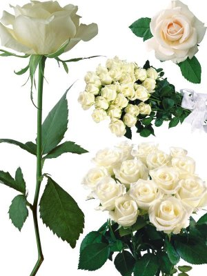 Photostock Flower: White Rose