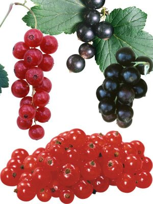 Photostock: fruit - black currant, red and white