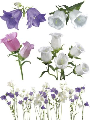 Flower photo stock - handbells