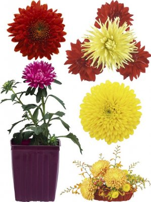 Chrysanthemum - flower photo stock