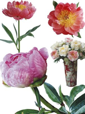 Peonies - a large collection of stock images
