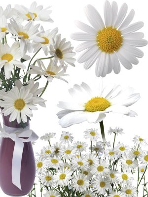 Chamomile - flower photo stock
