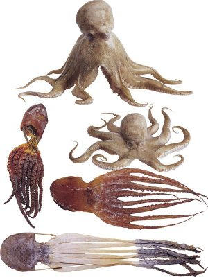 Photo stock: fresh and dried octopus