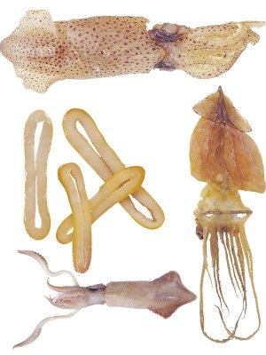 Photo stock: fresh and dried squid