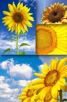 Solar Flower: Sunflower (the images)