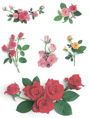Flowers: Selection of roses on a white background