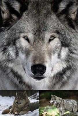 Carnivorous animals: Wolves