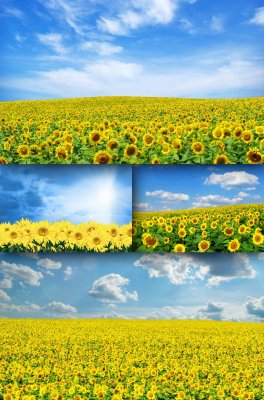 Field of sunflowers (the images)