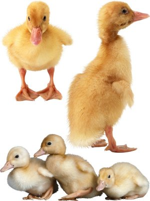 Poultry: Ducklings (the images)