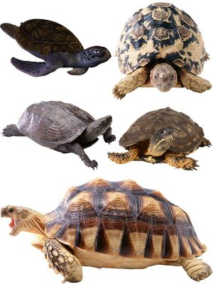 Reptiles: Turtles (terrestrial and aquatic) selection