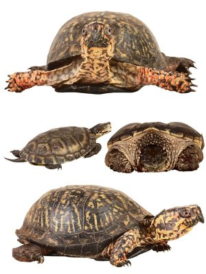 Reptiles: Turtles (terrestrial and aquatic), the second part