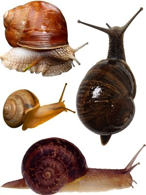 Snail (the images of a transparent background)