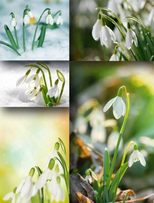 Delicate spring snowdrops (the images)